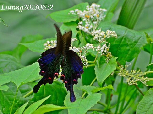 蝴蝶蝴蝶生得真美麗: 翠鳳蝶