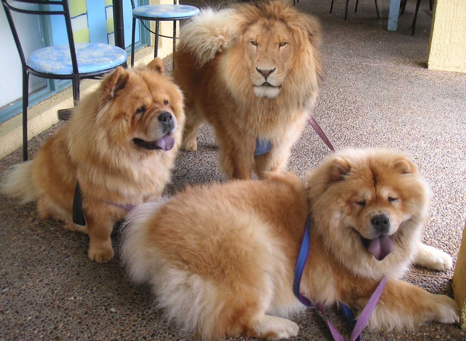 11 Dogs That Look Like Teddy Bears Pictures and Videos