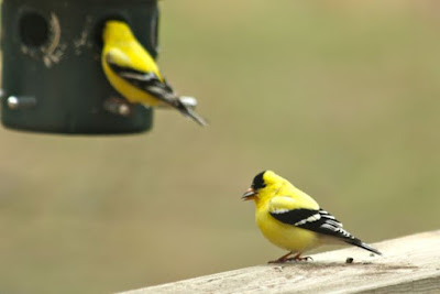 male goldfinches at feeder in May