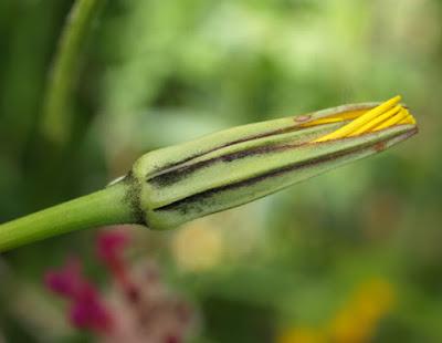 Tragopogon pratensis, detalle de las flores y brácteas