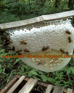 jenis lebah madu di indonesia ternak
