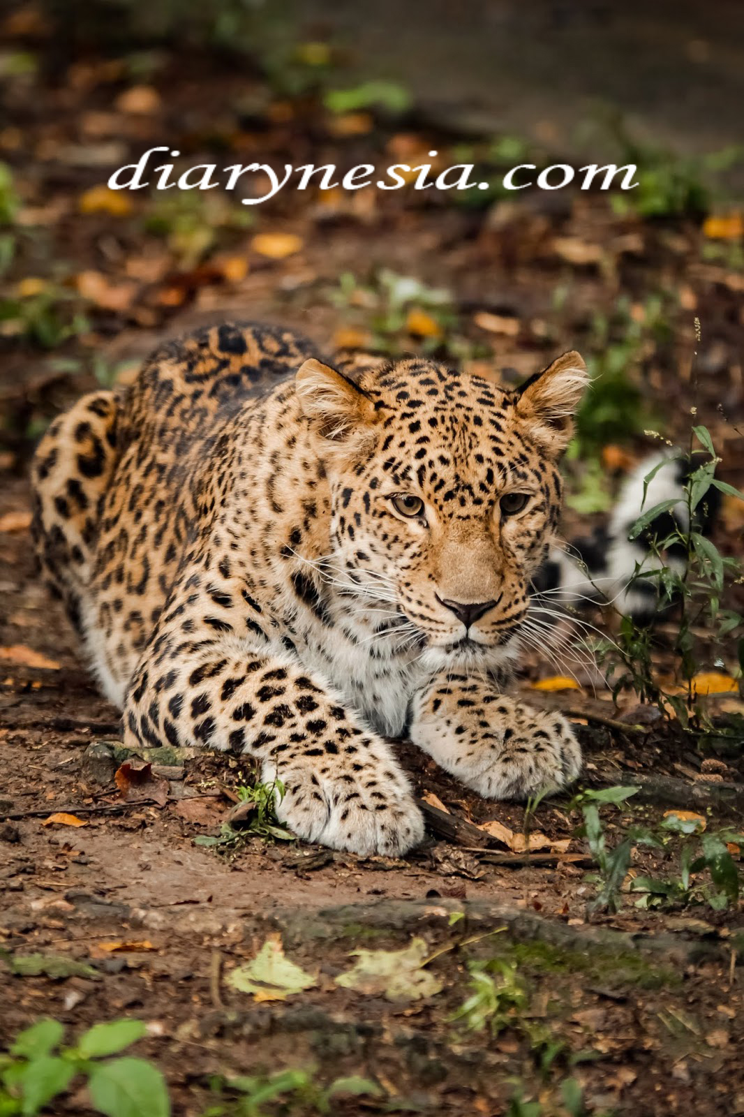known species of wild cats, different types of wild cats, rare wild cat species, diarynesia