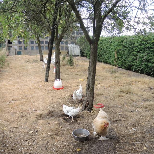 kippen en poezen uit de kempen