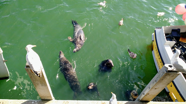 Четем, Массачусетс: Морські котики (Chatham Pier. Chatham, MA)