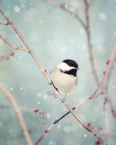 Gorgeous chickadee on cherry blossom branch