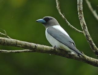 Burung kekep sulawesi atau yang dalam bahasa Internasional perburungannya dikenal dengan ivory-backed woodswallow (Artamus monachus)