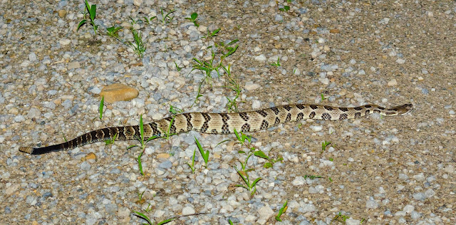 Timber Rattlesnake Road Cruising
