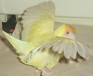 khususnya bagi anda yang memelihara dan menangkar lovebird di rumah mungkin sudah pernah  CARA AMPUH MENGOBATI LOVEBIRD LUMPUH