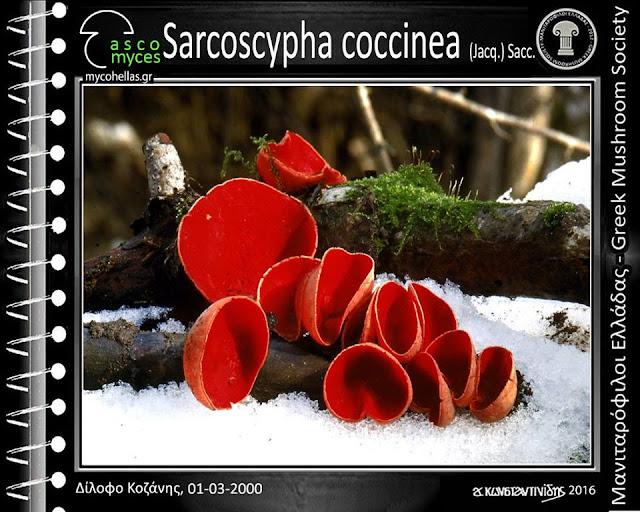 Sarcoscypha coccinea (Jacq.) Sacc.