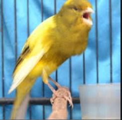 4 Cara Jitu Supaya Burung Kenari Cepat Ngerol/Gacor