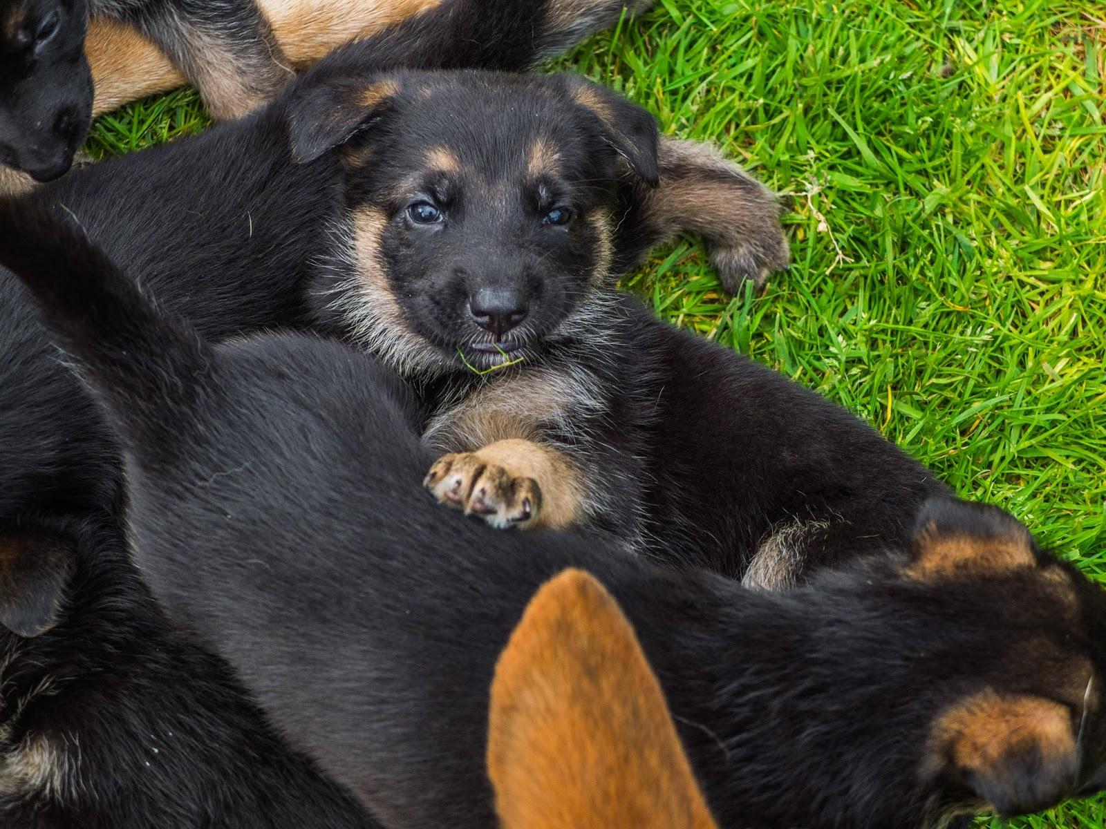 4 week old German Shepherd puppy looking at the camera.