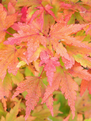 Acer palmatum Coonara Pygmy Japanese maple fall foliage at Toronto Botanical Garden by garden muses-not another Toronto gardening blog
