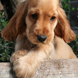 Dog Breeders Profiles and Pictures: Cocker Spaniel Dog Breeders Profiles and Pictures
