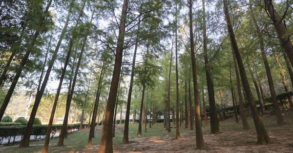 《台中.后里》如光山寺池杉林,泰安國小落羽松附近另一處景點