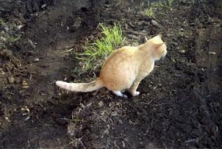Cara Kucing Menandai Teritorial