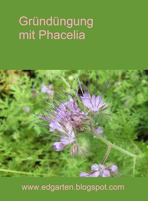 Blühendes Phacelia