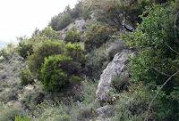 Maki bitki örtüsü, makilik