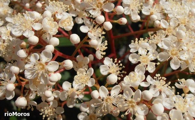 Flores de FOTINIA DE HOJA ROJA Photinia glabra