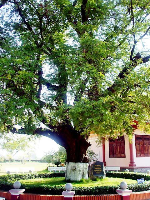 Cây Me cổ thụ - Tamarindus indica - Nguyên liệu làm thuốc Nhuận Tràng và Tẩy
