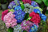 A flor é de cultivo fácil, rápido e simples. Rústica e de boa adaptação a diferentes tipos de solos, a hortênsia ainda se destaca quanto à exuberância dos cachos, que são muito utilizados para adornar diferentes ambientes.