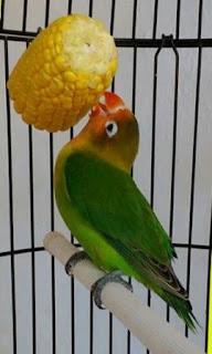 Terkadang secara tidak disadari dalam merawat burung lovebird HINDARI KEBIASAAN SALAH INI DALAM MERAWAT BURUNG LOVEBIRD