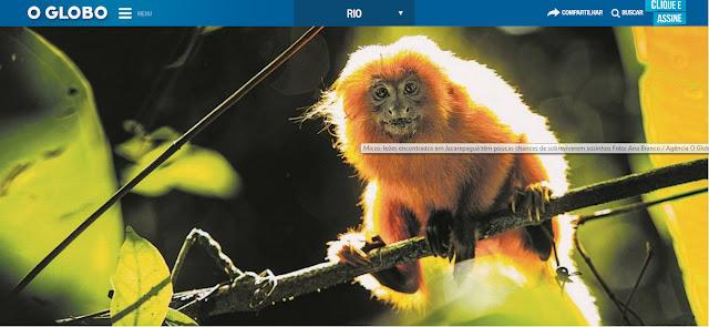 Após mais de um século, três micos leões aparecem no Município do Rio