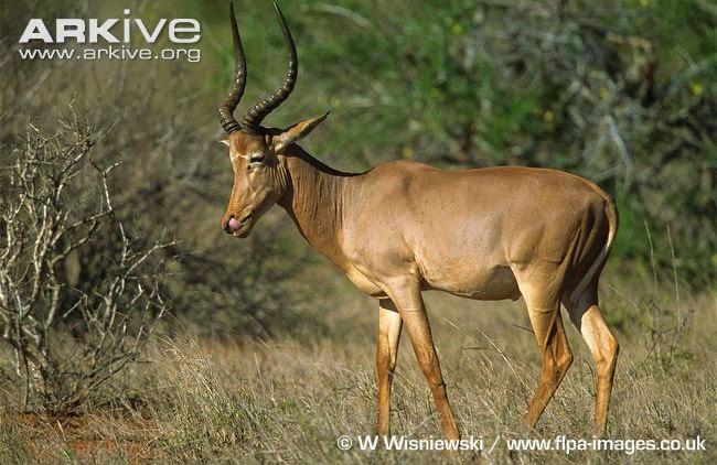 endangered afircan antelope