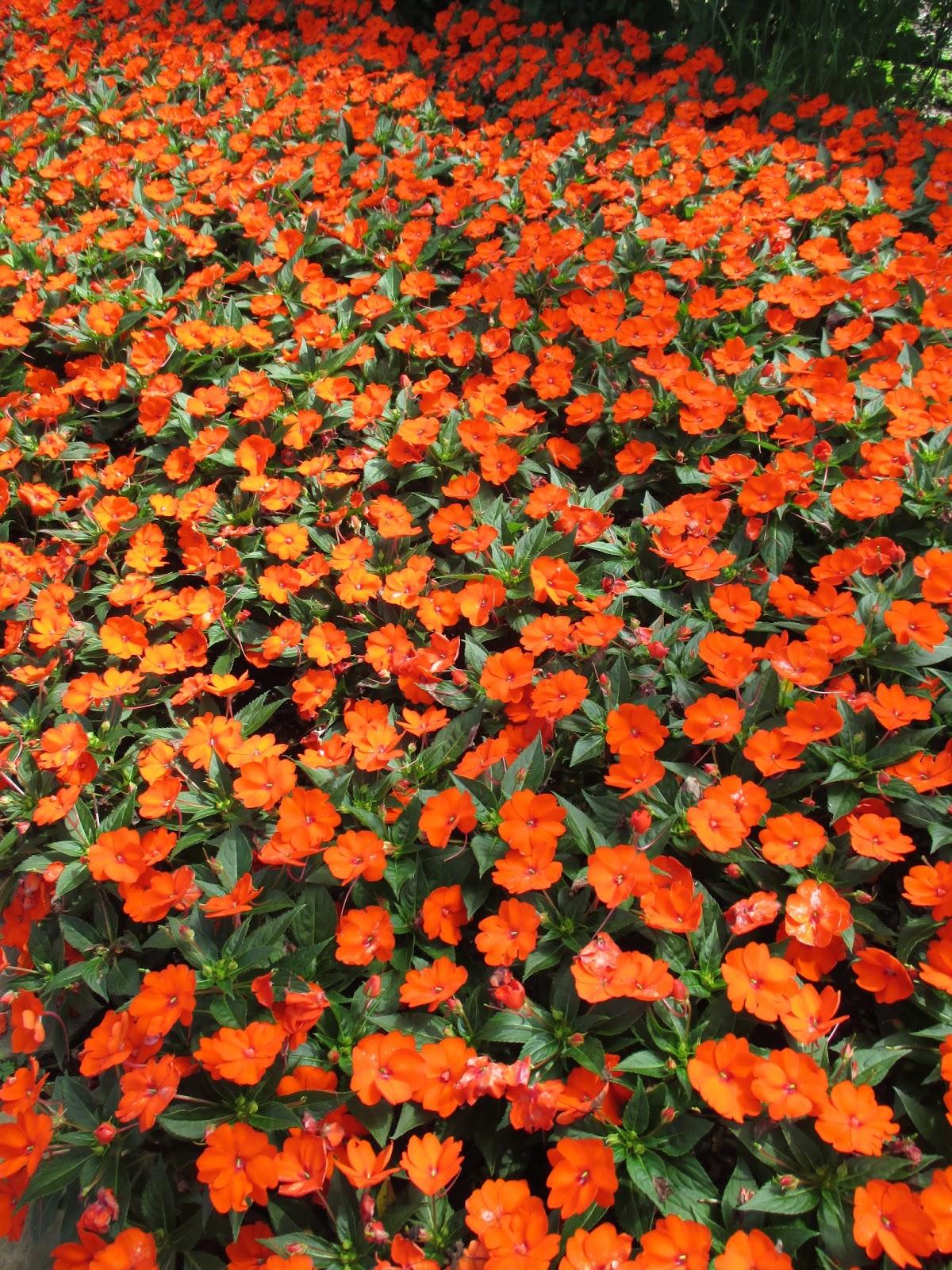 how to get seeds from sunpatiens