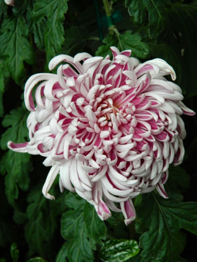 Allan Gardens Conservatory Fall Chrysanthemum Show 2014 white pink frilled mum by garden muses-not another Toronto gardening blog