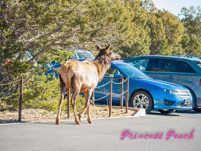 grand-canyon-national-park-鹿