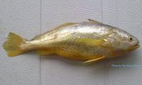 Terengganu Yellow Croaker