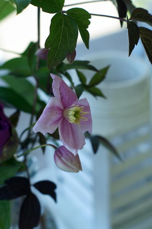 Blog + Fotografie by it's me! | fim.works | Muttertagsblumen aus dem Garten | Clematisblüte