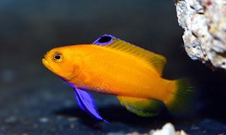 Gramma Dejongi - Ikan Basstlets
