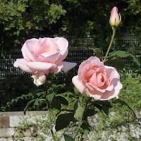 花博記念公園鶴見緑地 バラ