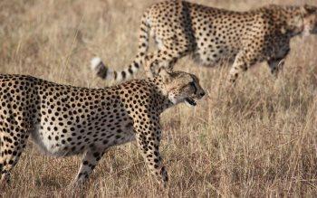 Wallpaper: Cheetah on Serengeti plains