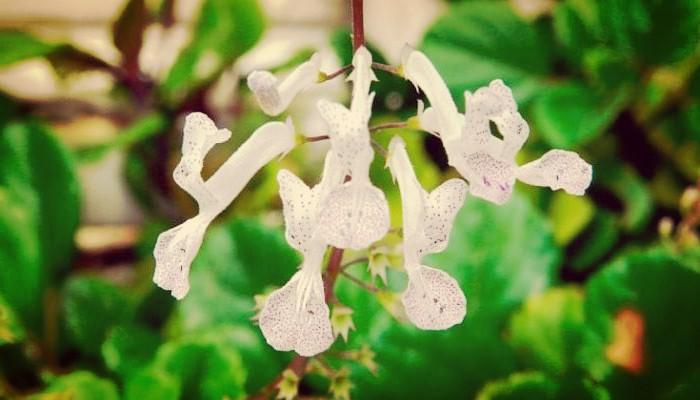 Flores de la planta del dinero