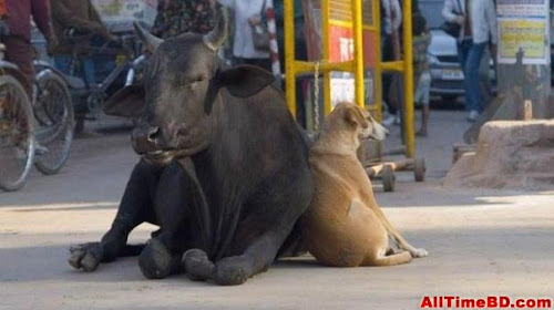 BD cow and dog waiting funny photos