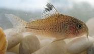 Jenis Ikan Corydoras julii