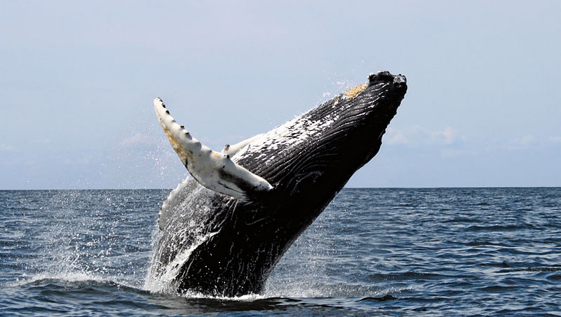 Mammals Animals: Humpback stellwagen edit