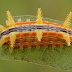 Amazing Caterpillars : Weird, Beautiful, Colorful Caterpillars