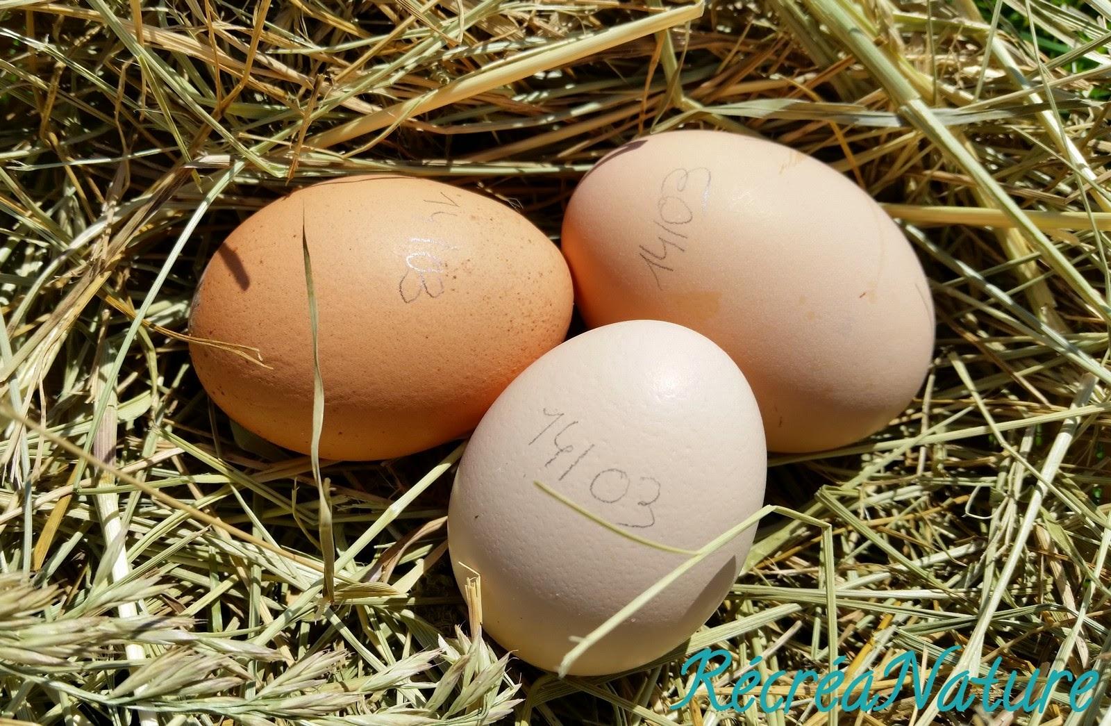 Mettre Des Poules Dans Son Jardin une nouvelle poule dans notre jardin : vive les oeufs bio