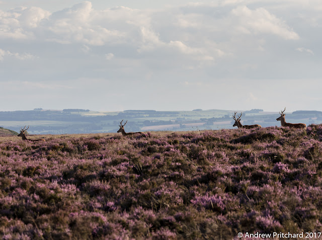 Four stags with growing antlers are walking across the heather moorland. Some fields and woodlands can be seen in the distance.