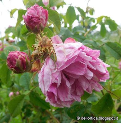 rosa Georges Vibert confetture petali essiccati cinorrodi tisane sali aromatici ghirlande alla fattoria didattica dell'ortica a Savigno Valsamoggia Bologna in Appennino vicino Zocca