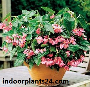 perennial begonia grandis indoor house plant