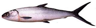 Kandungan Gizi Dari Ikan Bandeng