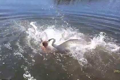 Mengenaskan, Berenang di Danau Pria Ini Diserang Dua Angsa Besar