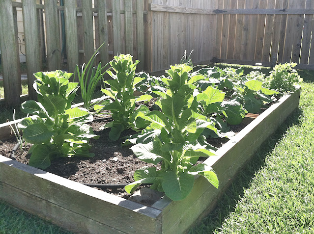 Fall vegetable garden with collard greens and onions | The Lowcountry Lady