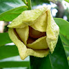 Outstanding benefits of Seeds, bark, roots and flowers of the soursop Fruit