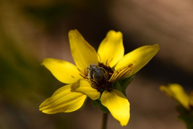 berlandiera lyrata, plant selection, chocolate flower, small sunny garden, desert garden, amy myers, photography, about the garden,