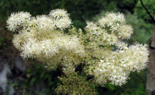 Ulmaria Filipendula ulmaria